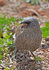 This little Apostlebird had a lot to say...