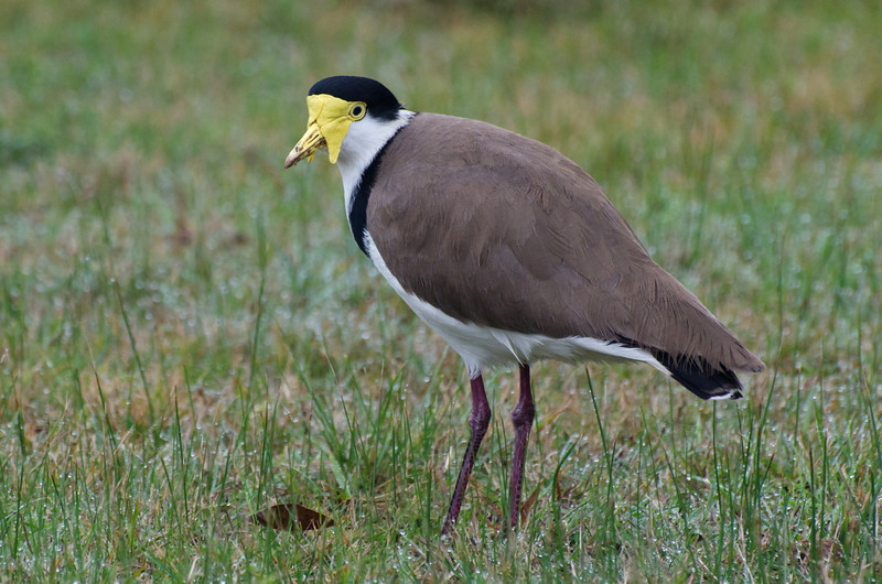Masked Lapwing on a foggy morning.<br /> Rhyll, Phillip Island, Victoria<br /> June 2012