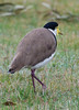 Masked Lapwing<br /> June 2012