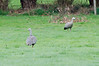 Pair of Cape Barren Geese standing in a paddock near Rhyll.
