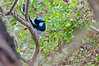 Superb Fairy-wren with a gift for his lady.<br /> Near Rhyll, June 2012