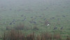 More Ibis, and more mist...<br /> Straw-necked Ibis with one stray Royal Ibis.<br /> June 2012