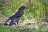 Grey Currawong<br /> And look!  There's a tiny bit of sun!