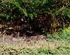 A small pile of quail..<br /> (Brown Quail, Point Cook Coastal Park, June 2011)