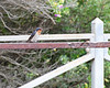 Welcome Swallow resting on a rusty railing at Fort Nepean.<br /> Point Nepean National Park, November 2011