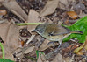White-browed Scrubwren?<br /> The white brow is not terribly distinct, but nothing else seems to fit...