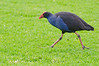 Purple Swamp Hen with a determined stride..<br /> June 2012