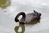 Black Swan preening<br /> October 2011