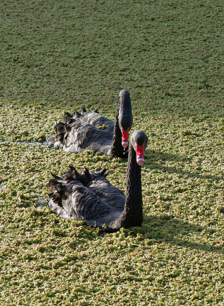 Black Swans, late afternoon light<br /> June 2012