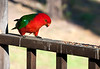 Someone has eaten all the sunflower seeds!<br /> King Parrot (male)