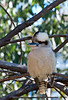 Kookaburra posing near our cabin.  They liked to share our breakfast.  And lunch.  And dinner.