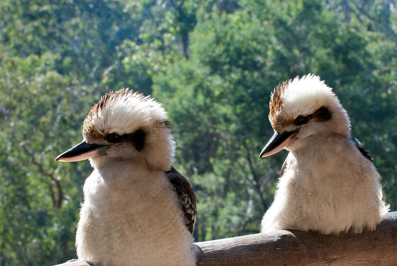 Two Kookaburras for the price of one.
