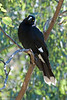Pied Currawong<br /> July 2011