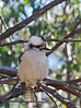 Kookaburra posing.<br /> Harsh sunlight didn't make it easy to get even a passable photo.