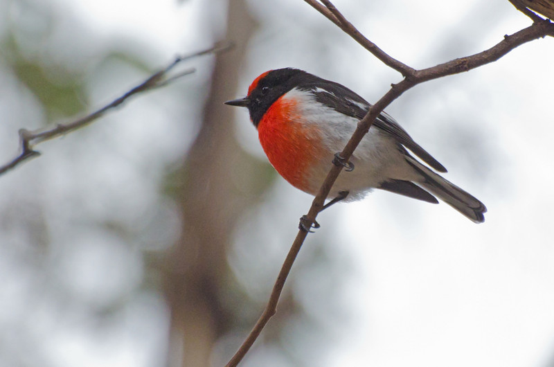 Red-capped Robin<br /> Woodlands Park with BelBOCA<br /> May 2012