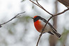 Red-capped Robin<br /> Woodlands, May 2012