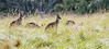 A very small part of a very large mob...<br /> Eastern Grey Kangaroos at Woodlands<br /> May 2012