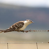 Great Spotted Cuckoo (Cuculus glandarius) - kuifkoekoek - Extremadura Spain