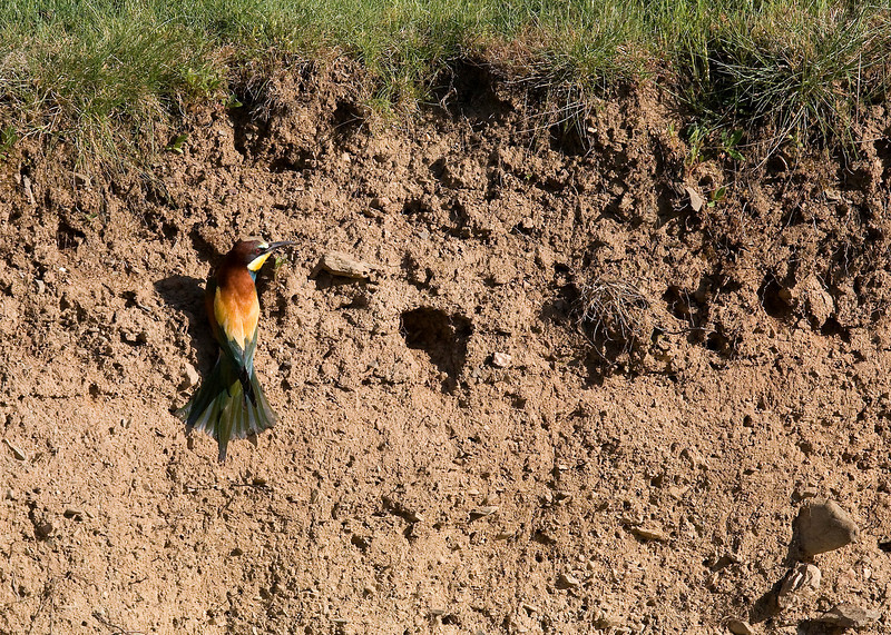 European Bee-eater (Merops apiaster) - bijeneter - checking out possible nesting holes