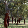 Cork oak (Quercus suber) - kurkeik - these trees were havested earlier this year, leaving the trunks dark brown (natural color). Cork is harvested for the first time when the tree is about 25 years old and subsequently every 8 to 10 years. Removing the bark is done manually
