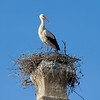 White Stork (Ciconia ciconia) - ooievaar here on its nest near my hotel
