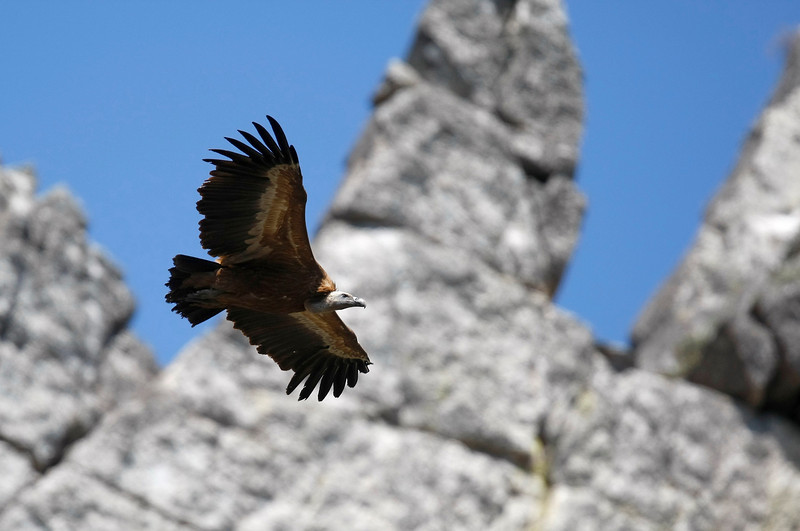 Griffon vulture (Gyps fulvus) - vale gier - sailing in front of the rocks that house about 80 nesting couples in Montfrague