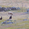 Vultures (Black Vulture (Aegypius monachus) and Griffon (Gyps fulvus)) sitting around - I wonder whether it might be to see whether the lamb is dead or alive...