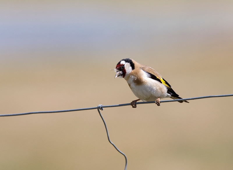 European goldfinch (Carduelis carduelis) - putter - this bird was clearly annoyed with the stuff glued to its beak - it was trying to wipe it off on the wire - however with limited success
