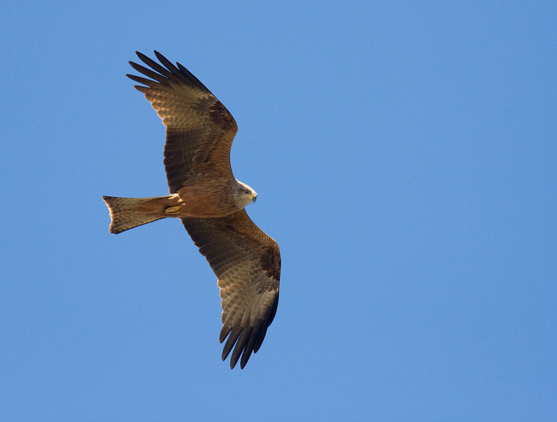 Red Kite (Milvus milvus) - rode wouw - Extremadura Spain