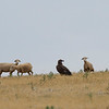 Black Vulture (Aegypius monachus) - monniksgier - hanging around a big sheep farm, obviously expecting dinner to be served. Seeing the vulture amid the sheep, it is striking to see how big it really is