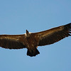 Griffon Vulture (Gyps fulvus) - vale gier - is of course the most striking bird in the Montfrague reserve