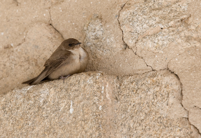 Crag Martin (Ptyonoprogne rupestris) - rotszwaluw - under an arch at the hotel