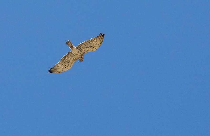 Short-toed Eagle (Circaetus gallicus) - slangenarend - Extremadura Spain