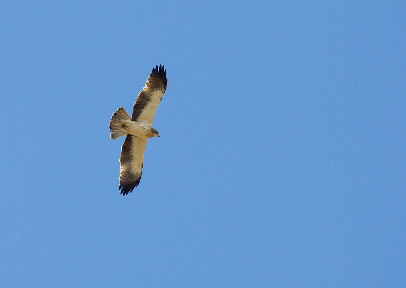 Booted Eagle (Hieraaetus pennatus) - dwergarend - showing the characteristic black and white coloring - there is a brown variation which is much more difficult to recognize