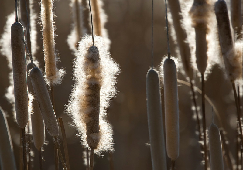 Broadleaf Cattail (Typha latifolia) - lisdodde - blowing seeds