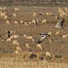 Cranes (Grus grus) - kraanvogel