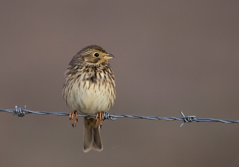 Corn bunting (Emberiza calandra) - grauwe gors - in early morning light on the Belen plains in Extremadura
