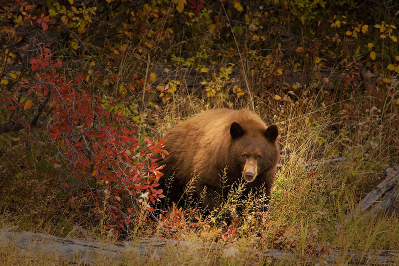 TETON BLACK BEAR HUNTING BERRIES