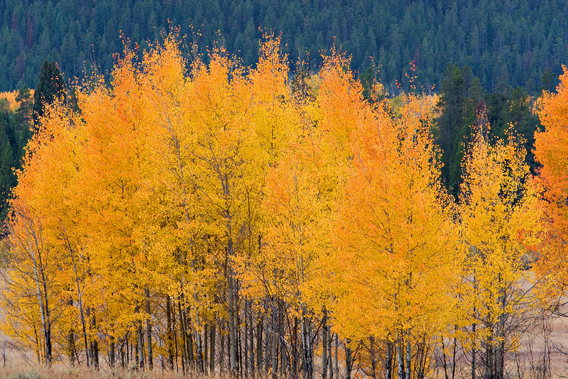 """MISTY"" MORNING ASPENS"