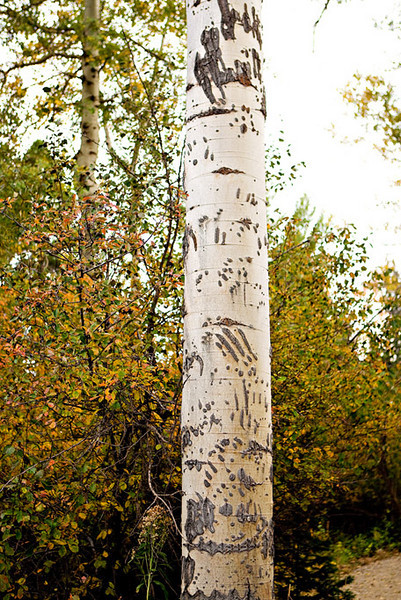BEAR CLAW-MARKED ASPEN TREE
