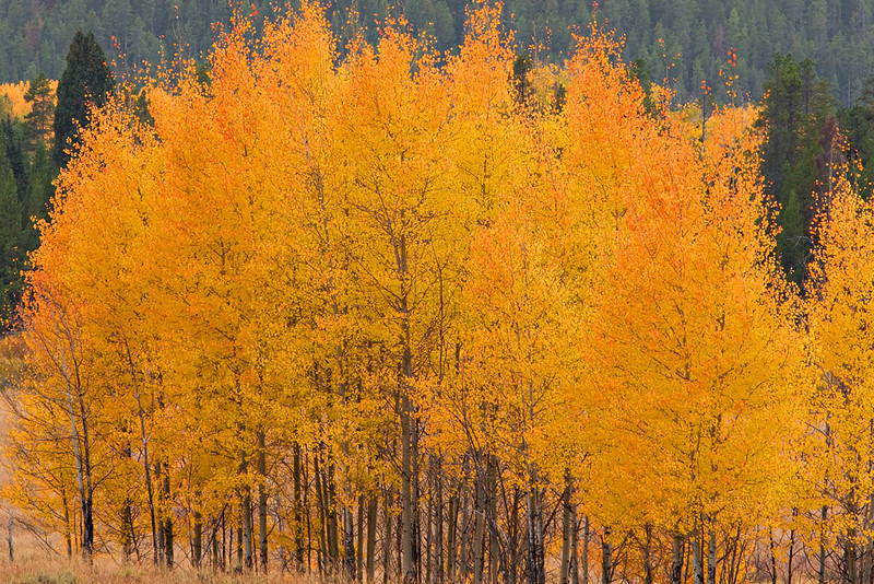 """QUAKING"" ASPENS AT THEIR PEAK COLOR"