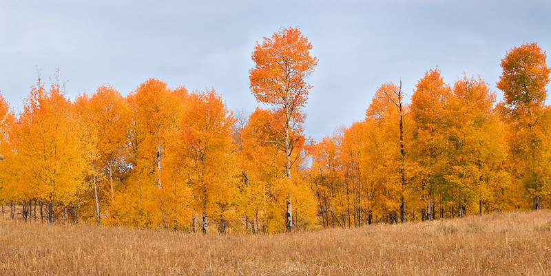 FIELD OF ASPENS