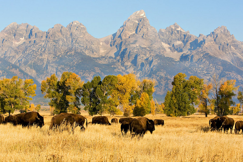 TETON BISON HERD