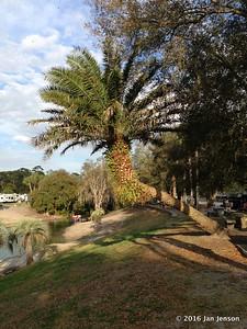 Palm tree with ferns growing on it @ Wekiva Falls RV Resort, Sorrento, FL - March 2016
