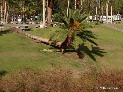 Lazy palm tree @ Wekiva Falls RV Resort, Sorrento, FL - March 2016