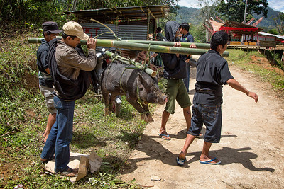 Sulawesi - Toraja Village Funeral Ceremony 1 of many sacrificial pigs