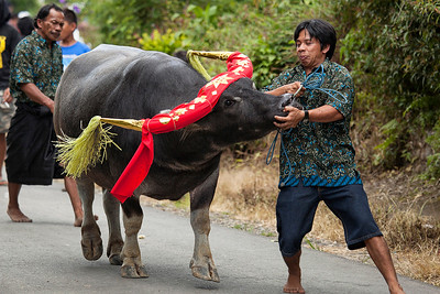 Sulawesi - Toraja Village Funeral Ceremony 1 of 20 sacrificial bulls