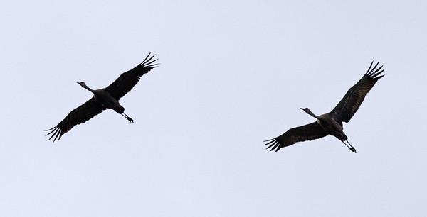 Sandhill crane's