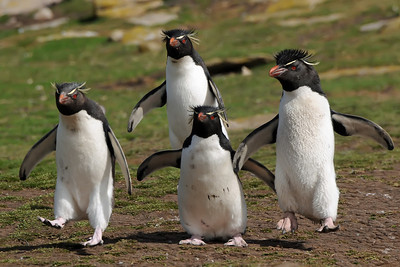 2010 Falkland Islands - Saunders Island - Rockhopper Penguin