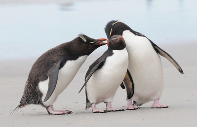 2010_01_05_Falkland Islands_Saunders Island_Rockhopper Penguin - 168